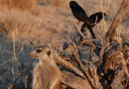 Meerkat and drongos